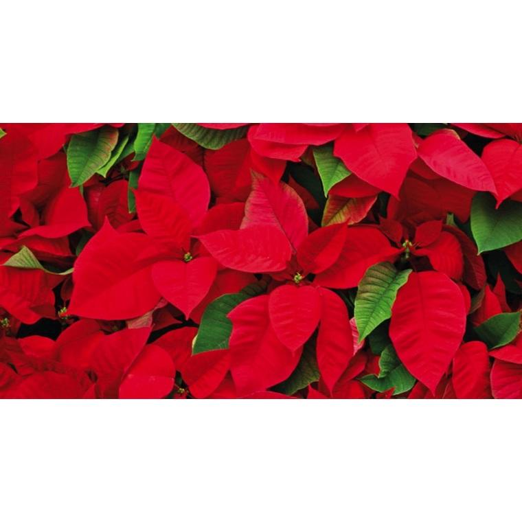 Poinsettia rouge en pot Ø 14 à 15 cm 819607
