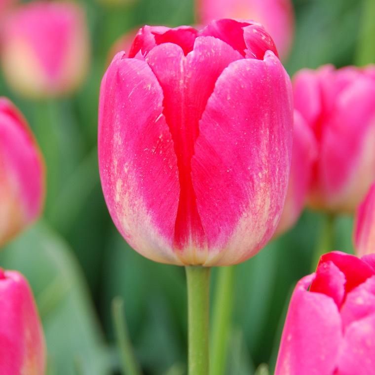 Bulbes de tulipe botanic® en vrac 819621
