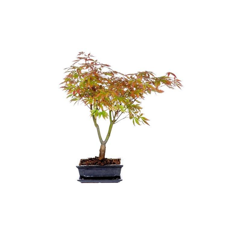 Acer Palmatum H 40/45 cm 825747