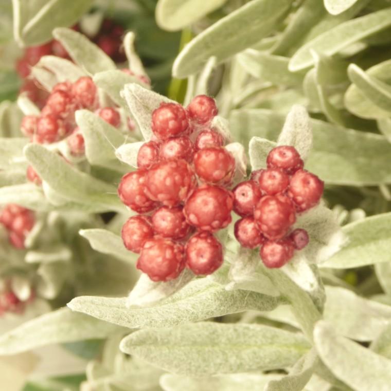 Helichrysum Thianschanicum. Le pot de 10.5 cm 831206