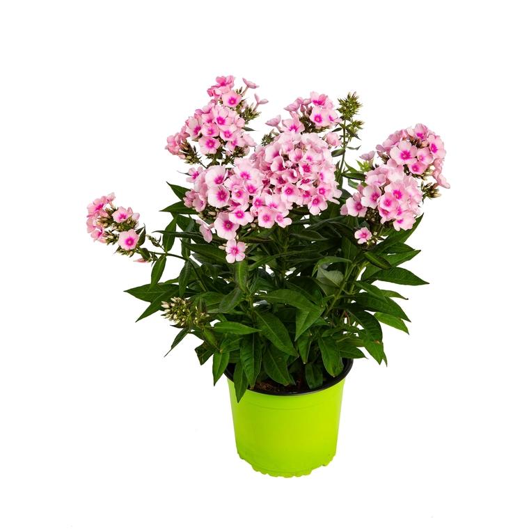 Phlox Paniculata. Le pot de 3 litres 831323