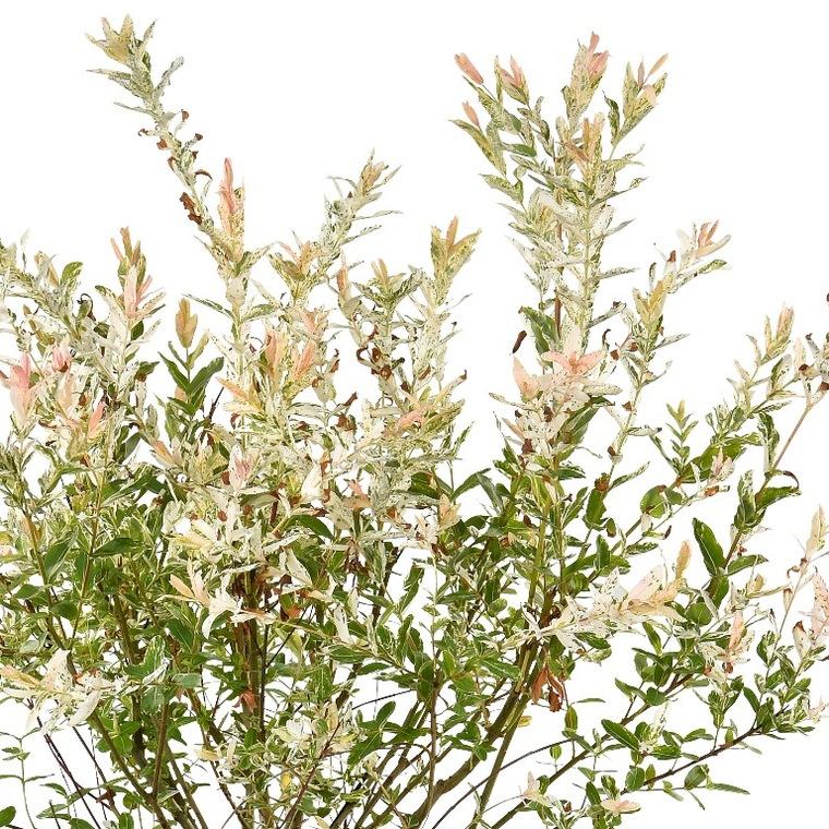 Saule Crevette (Salix integra Hakuro Nishiki). Le pot de 7 litres 833985