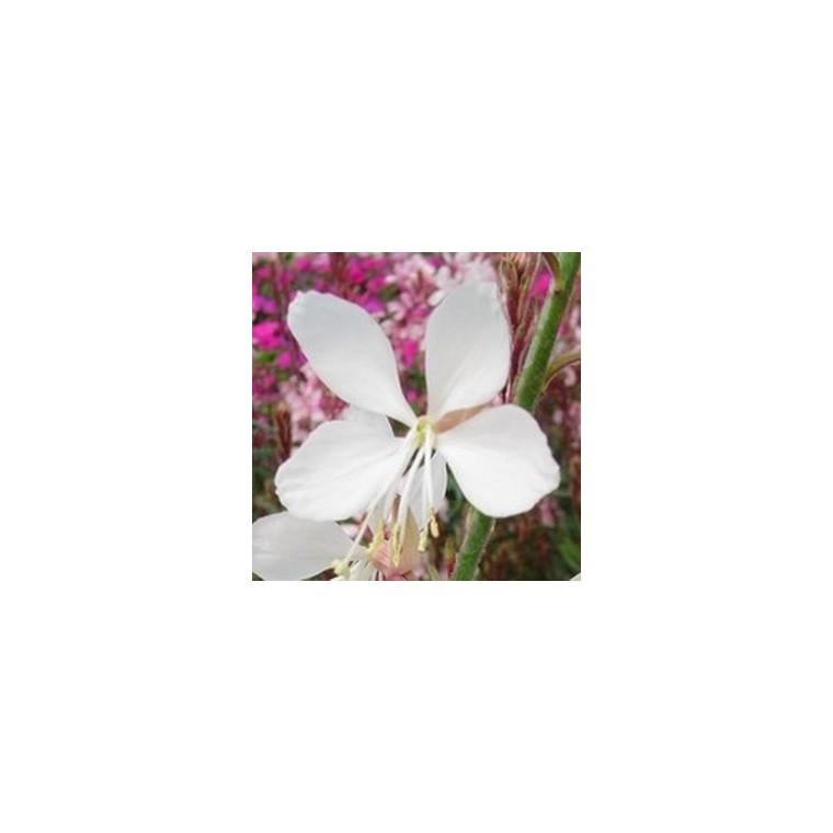 Gaura Lindheimeri. La barquette de 6 plants 834561