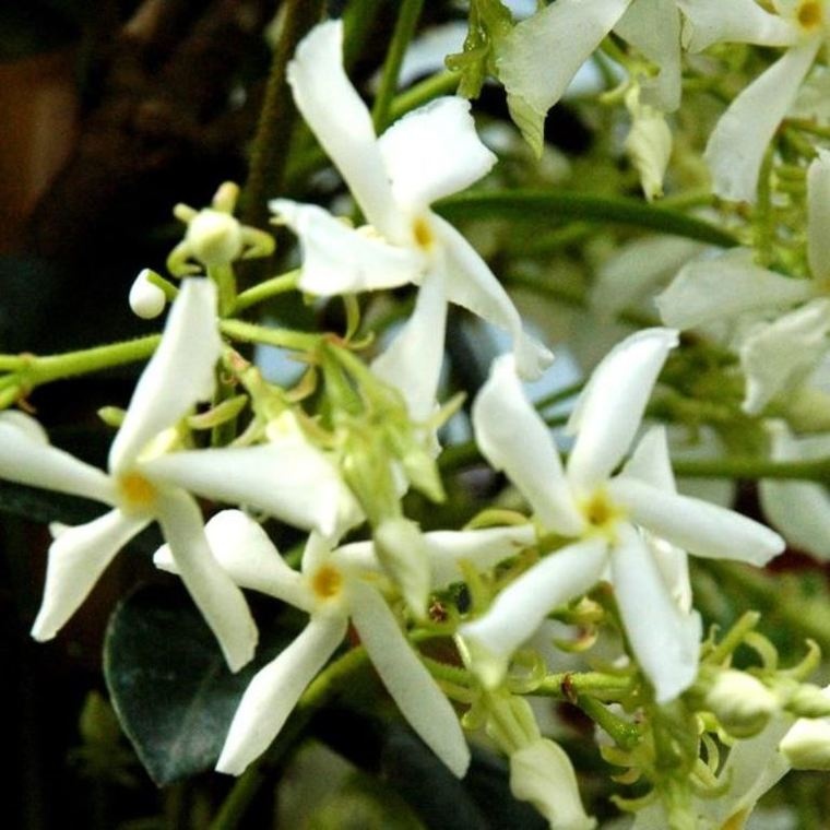 Jasmin étoilé cône (Trachelospermum Jasminoides). Le pot de 26 litres 835195