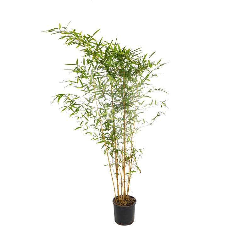 Bambou (BAMBOU PHYLLOSTACHYS AUREA) Le pot de 18 litres 836495