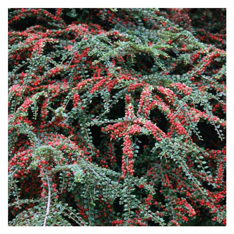 Cotoneaster à baies rouges – Pot de 3L