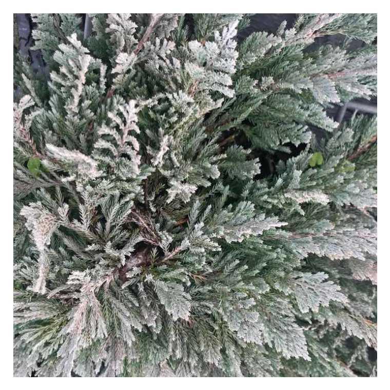 Juniperus Horizontalis Blue Moon ou Genévrier bleu en pot de 2 L 841144