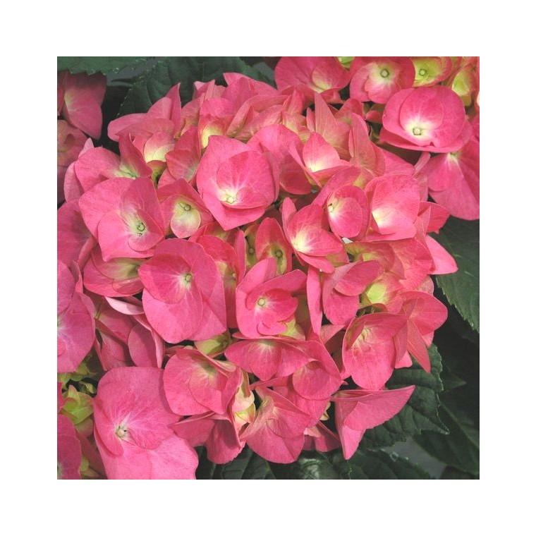 Hortensia à grandes fleurs en pot de 3 litres 841419