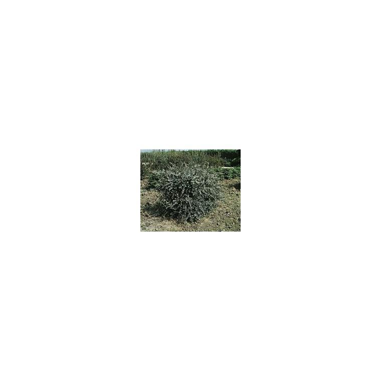 Olearia Virgata 80/100 cm en pot de 4 L 560077