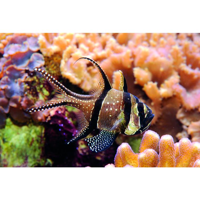 Pterapogon kauderni élevage MM 842499