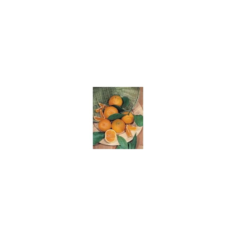 Oranger 1/2 tige en conteneur de 10 L 844154