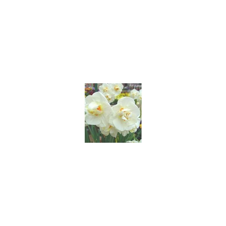 Narcisse Paper White. Le pot de 10,5 cm 847667