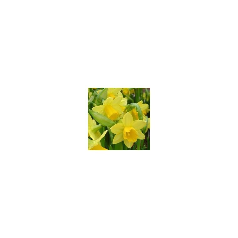 Narcisse  tête a tête grillage et tissus. La composition 450935
