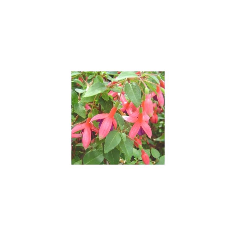 Fuchsia érigé. Le pot de 2,5 litres 453053