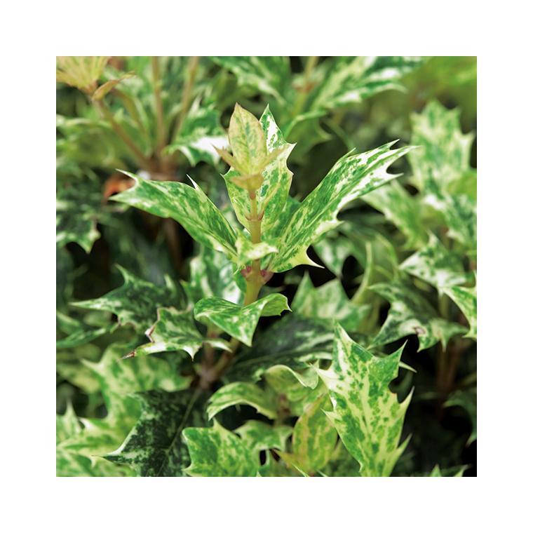 Osmanthus Tricolor. Le pot de 1 litre 346473