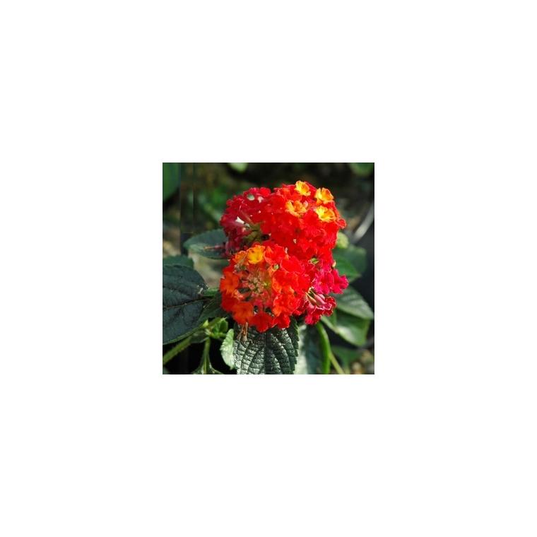 Lantana Hybride Cascade. Le pot de 10.5 cm 453234