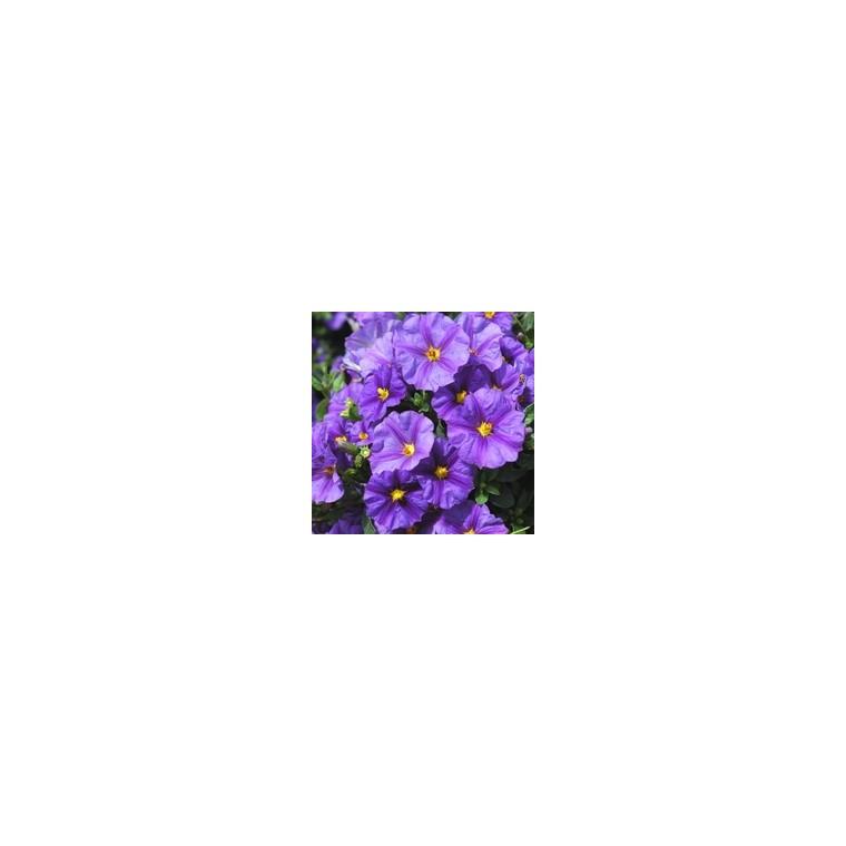 Solanum Rantonnetii. Le pot de 1 litre 880009