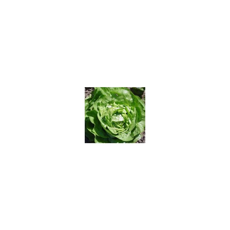 Laitue Pommée Analora. La barquette de 12 plants