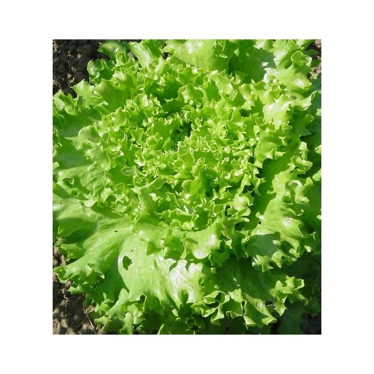 Laitue Batavia Verte. La barquette de 12 plants 110655