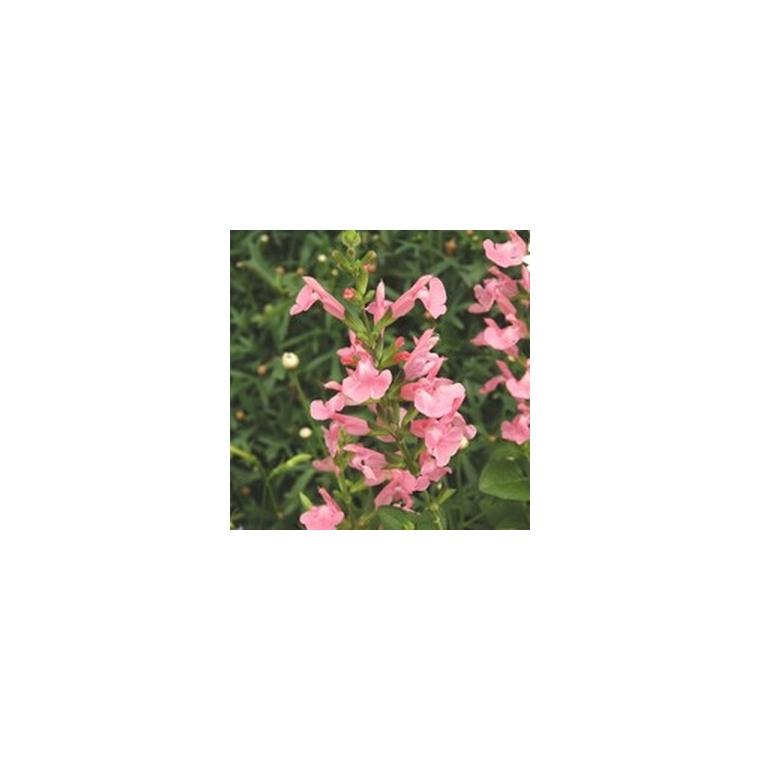Salvia Jamensis. Le pot de 5 litres 185242