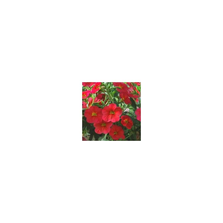 Pétunia à petites fleurs. Le pot de 10.5 cm 831200