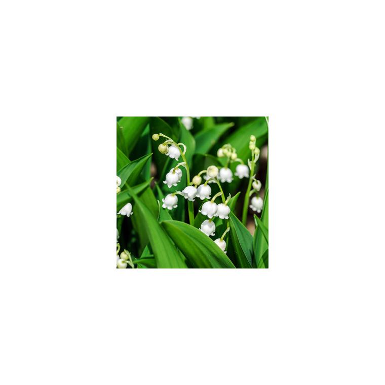 muguet 3 griffes plantes et fleurs d 39 int rieur nos produits botanic. Black Bedroom Furniture Sets. Home Design Ideas