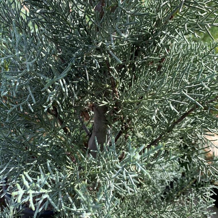 Cyprès de l'Arizona Fastigiata 1/4 tige. Le pot de 9 litres 860024