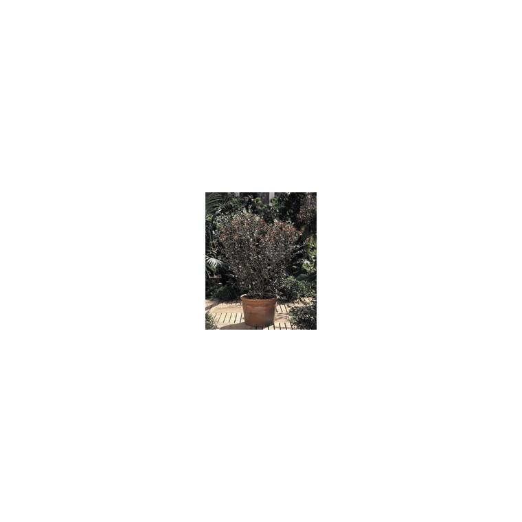 Feijoa Sellowiana – Pot de 10 L 961365
