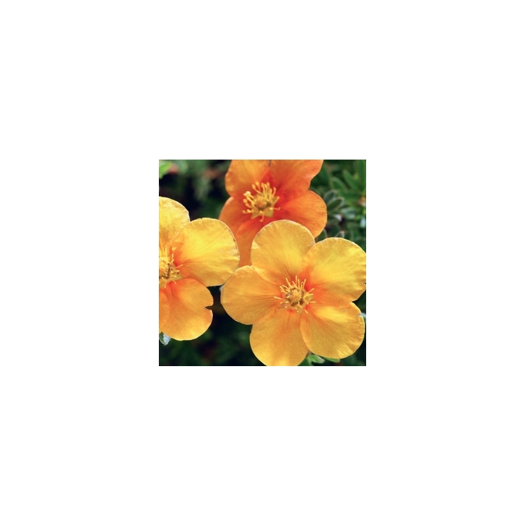 Potentilla Fruticosa Variée Orange – Pot de 3L