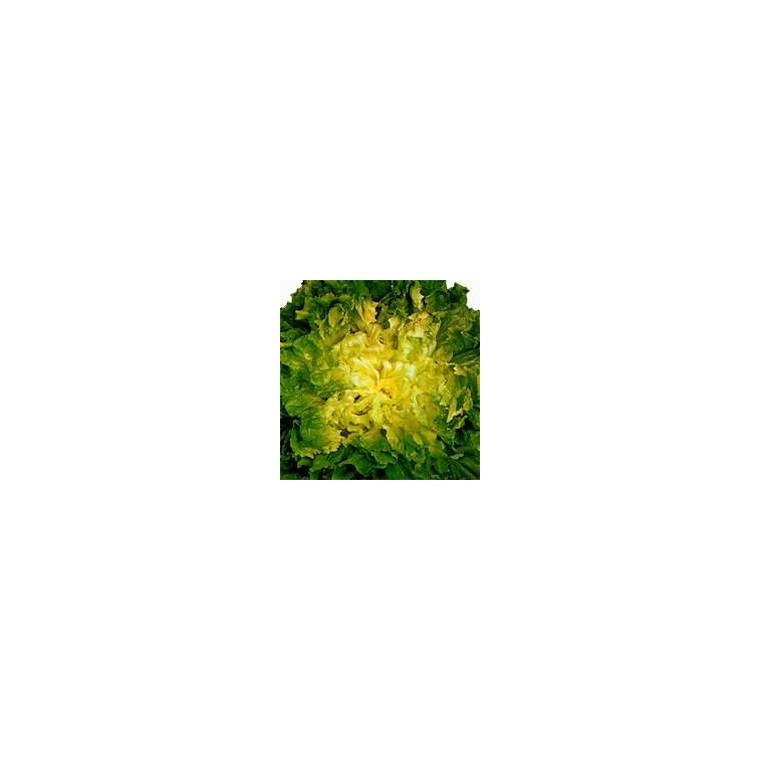 Chicorée Scarole. La barquette de 12 plants