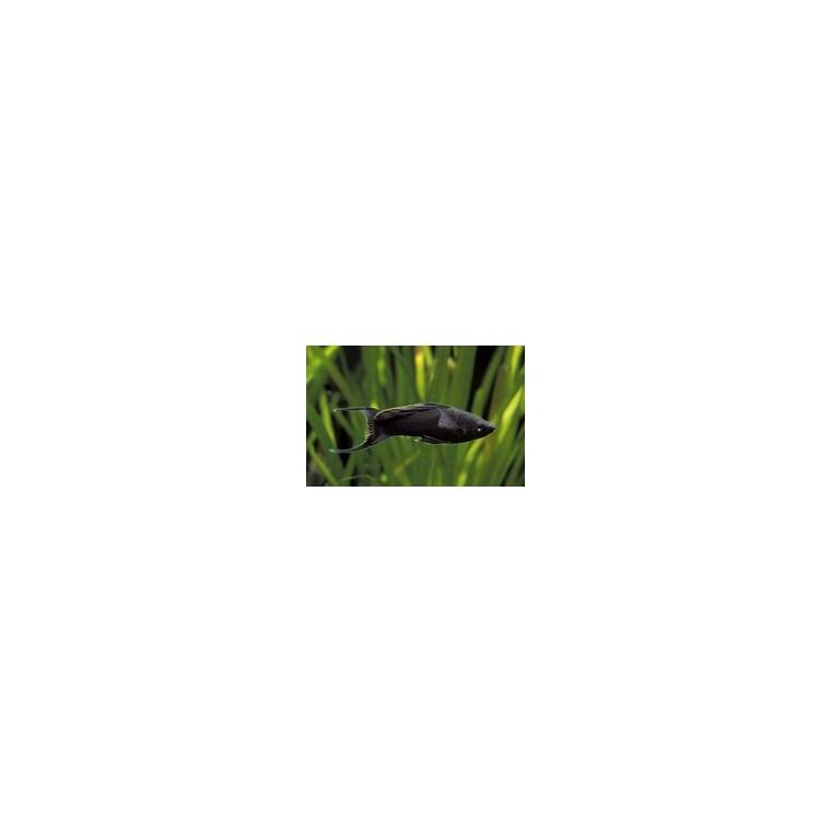 Black molly 873959