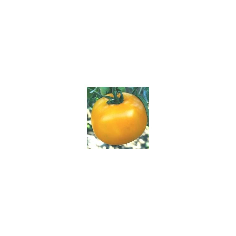 Tomate ronde Golden Boy. Le pot de 10,5 cm