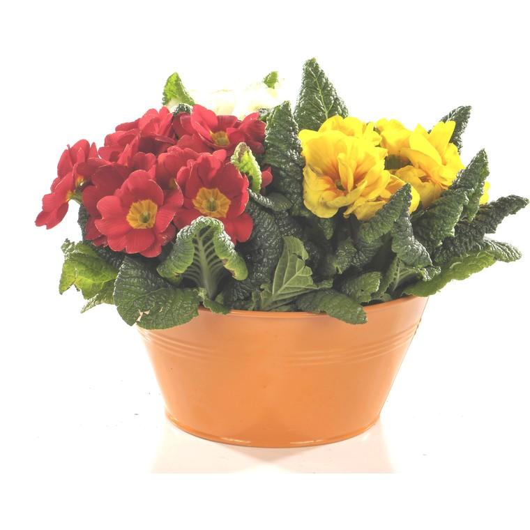Primevère des jardins multicolore x 3 en coupe flocon rouge