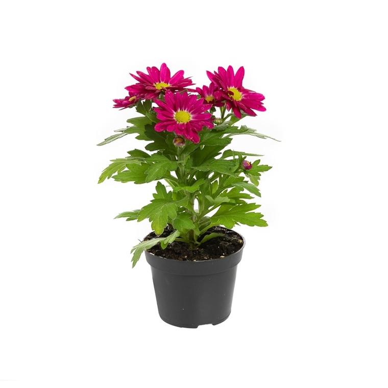 Chrysanthème plante baby Ø 5,5/6 cm 878362