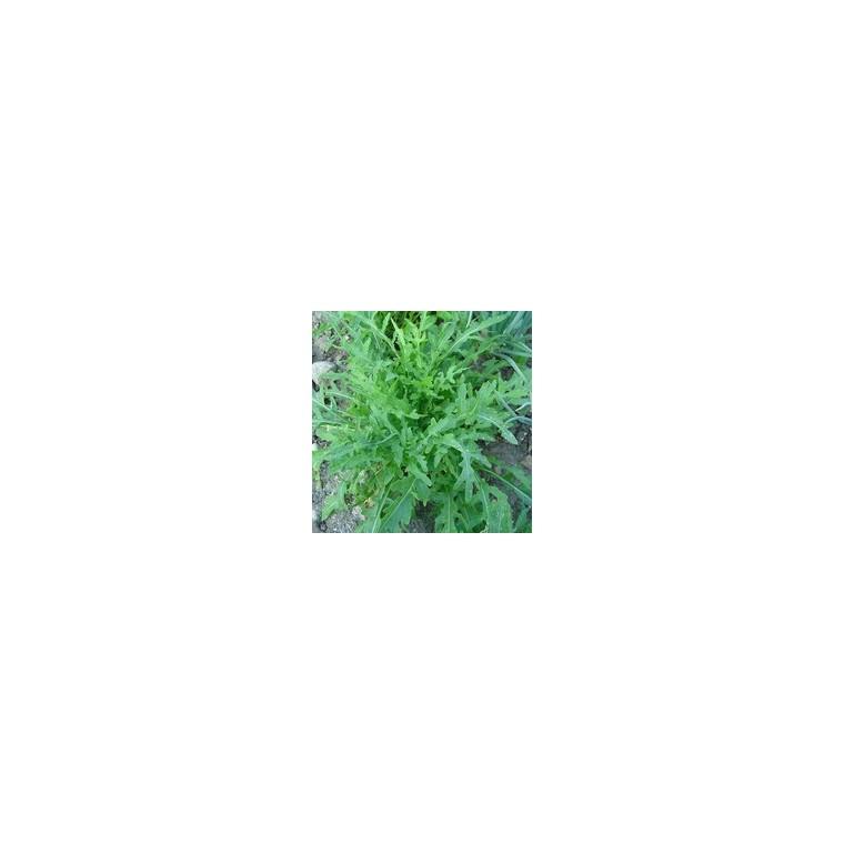 Roquette Sauvage Grazia. La barquette de 12 plants