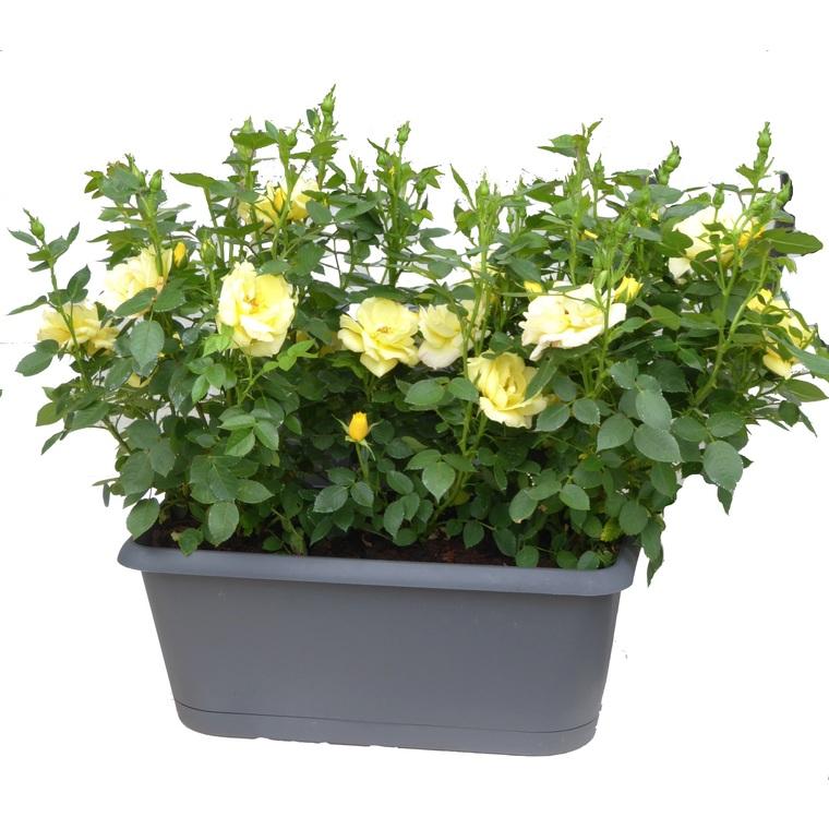 Rosier miniature. La jardinière de 30 cm 878856