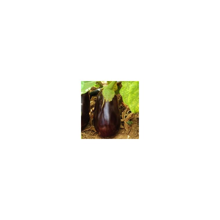 Aubergine Ronde Bonica. Le pot de 10,5 cm 44382