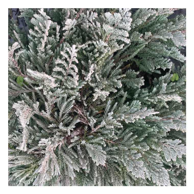 Juniperus Horizontalis Blue Moon ou Genévrier bleu en pot de 5 L 879495
