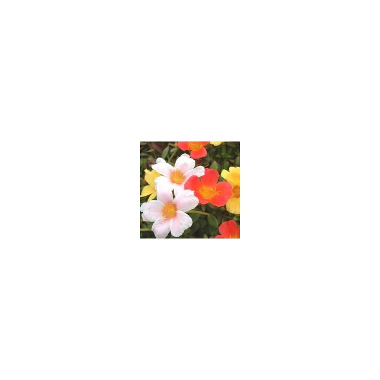 Pourpier à fleurs simples. Le pot de 2 litres 852377