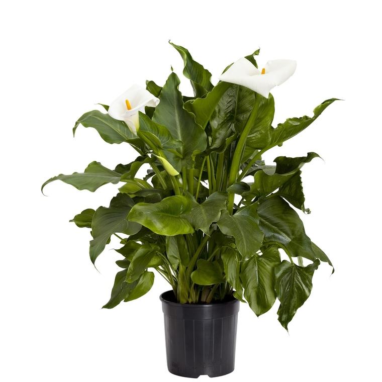 Arum blanc à grandes fleurs. Le pot de 3 litres