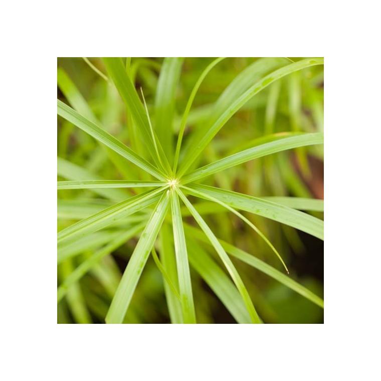 Cyperus Papyrus. Le pot de 5 litres 883649