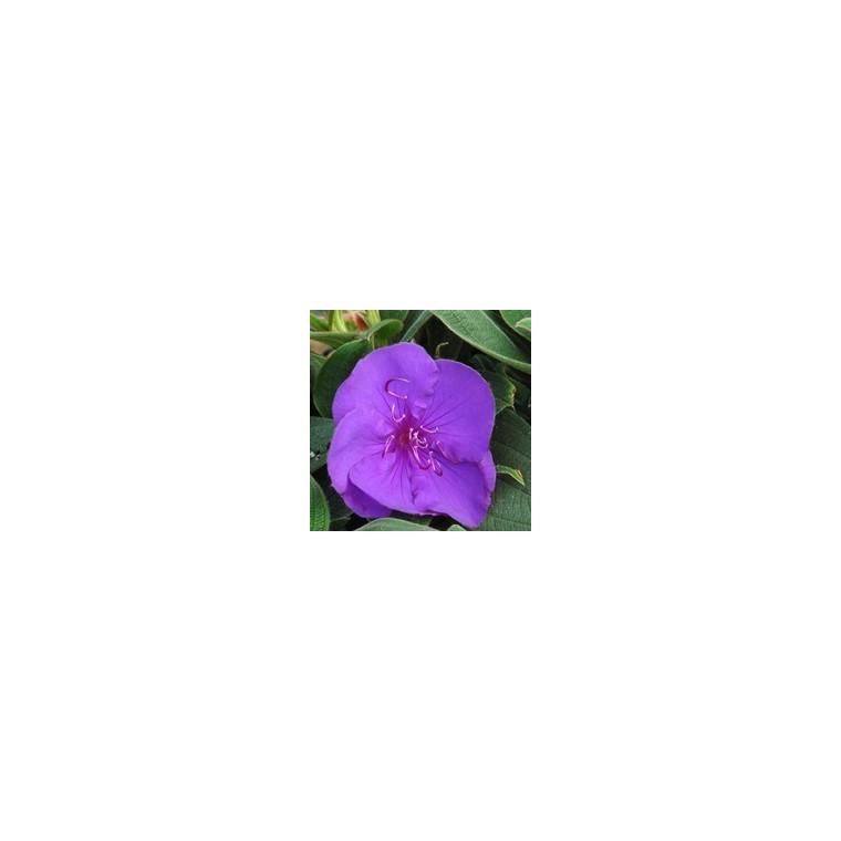 Tibouchina ¼ Tige bleu en pot de 3 L 884708