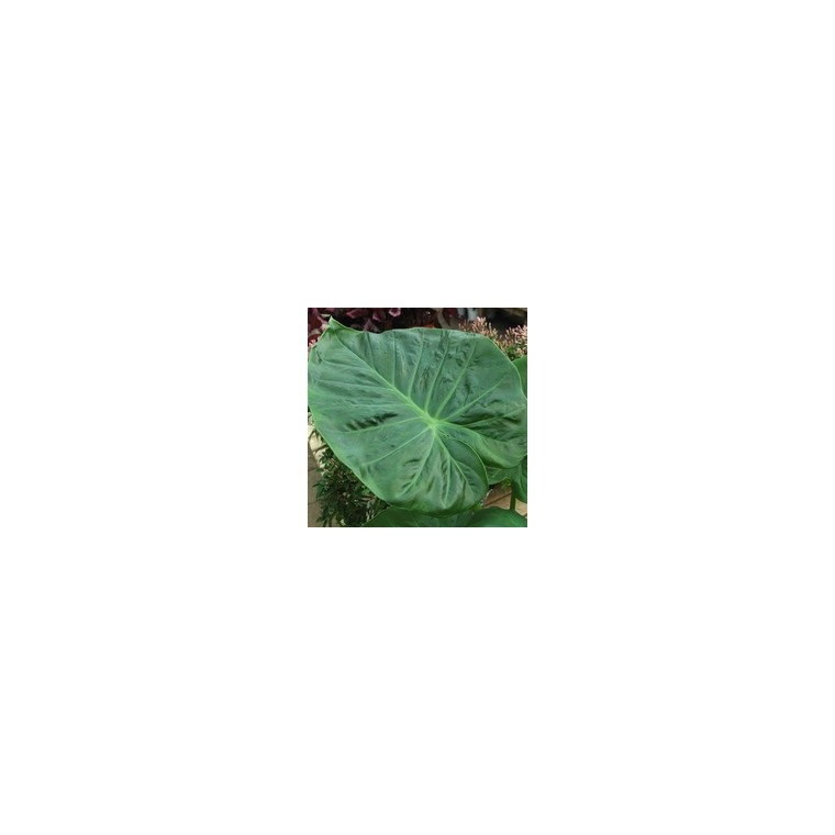 Alocasia Calidora 886536