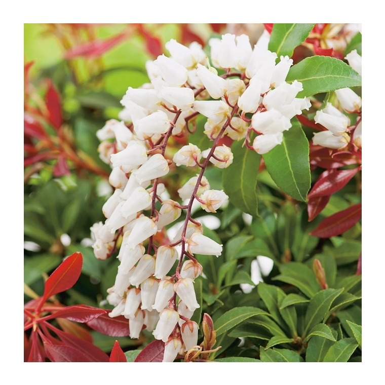 Andromède Japonica Mountain Fire - pot 5 L 887455