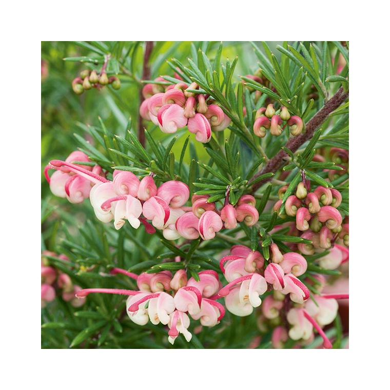 Grevillea Rosmarinifolia Jenkinsii – Pot de 2L 177566