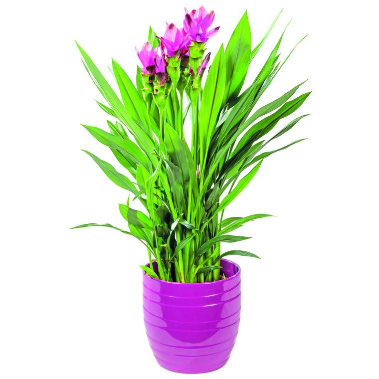 curcuma et cache pot plantes et fleurs d 39 int rieur nos produits botanic. Black Bedroom Furniture Sets. Home Design Ideas