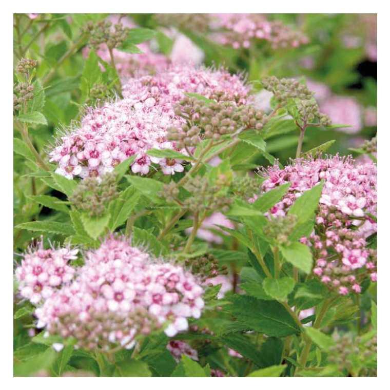 Spiree Japonaise Rose Pot De 3l Plantes Nos Produits Botanic