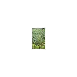 Cordyline Australis Purpurea rouge en pot de 6 L 347311