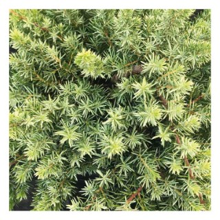 Juniperus Conferta Blue Pacific ou Genévrier bleu en pot de 5 L 907726