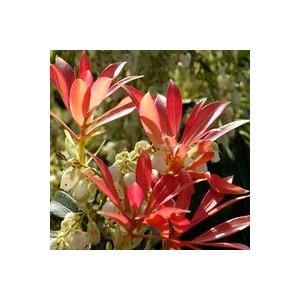 Pieris Japonica – Pot de 7L 561167